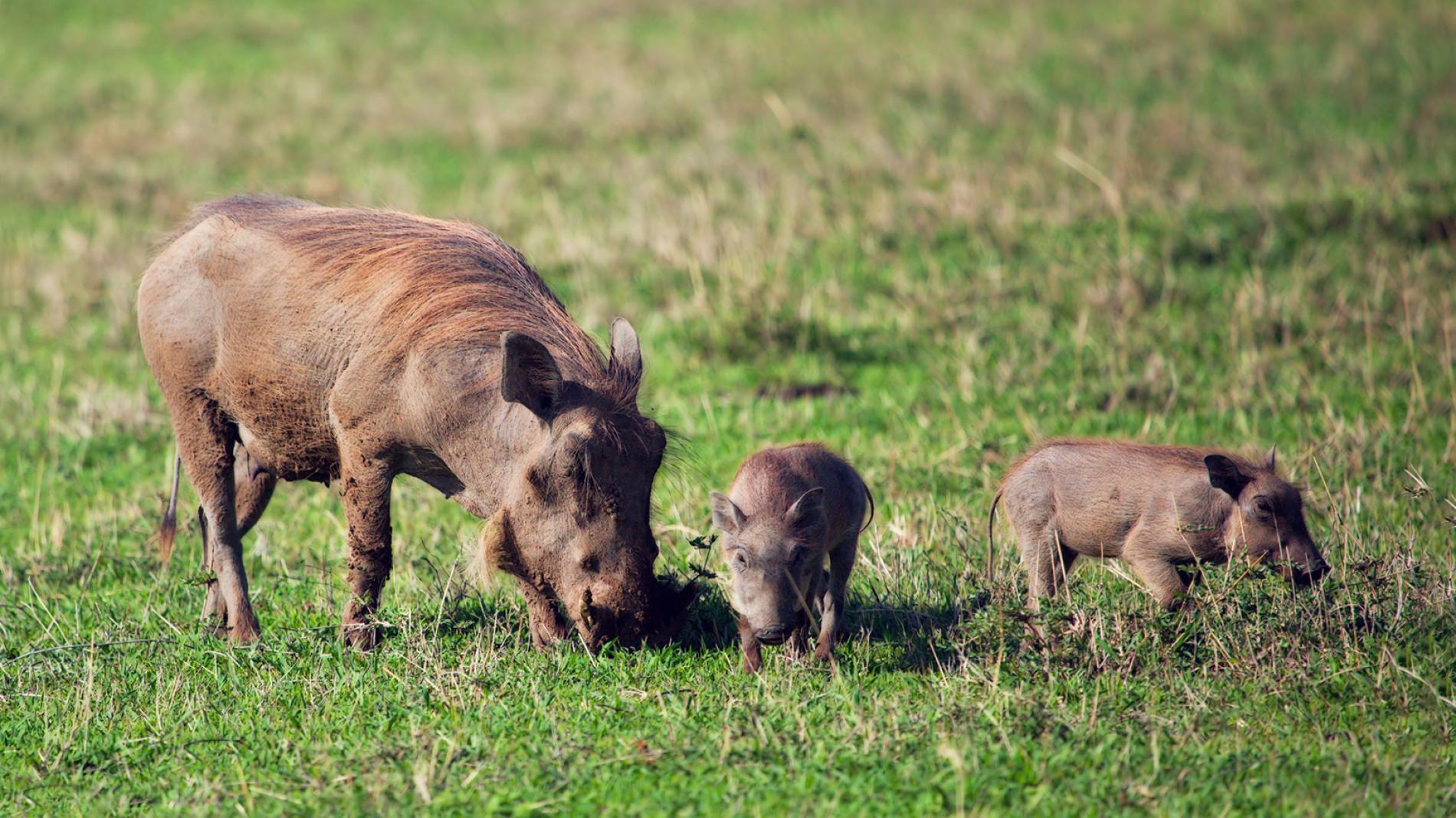 Nhân năm Kỷ Hợi tìm hiểu loài lợn cực thú vị: mang ngà như voi, lại có đến 4 cái - Ảnh 2.