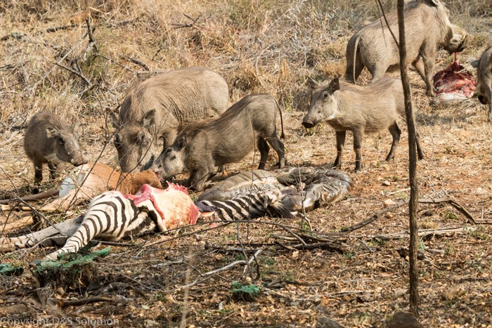 Nhân năm Kỷ Hợi tìm hiểu loài lợn cực thú vị: mang ngà như voi, lại có đến 4 cái - Ảnh 3.