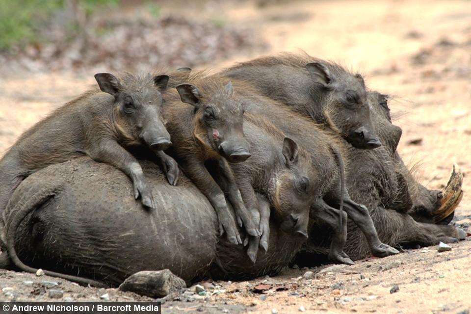 Nhân năm Kỷ Hợi tìm hiểu loài lợn cực thú vị: mang ngà như voi, lại có đến 4 cái - Ảnh 6.