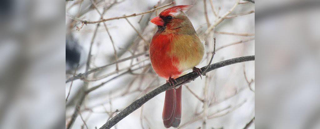 Con chim kỳ lạ này có bộ lông nửa trống nửa mái, và sự thực đằng sau sẽ khiến ai cũng sửng sốt - Ảnh 1.