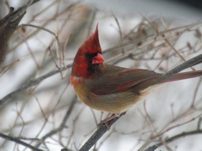 Con chim kỳ lạ này có bộ lông nửa trống nửa mái, và sự thực đằng sau sẽ khiến ai cũng sửng sốt - Ảnh 2.