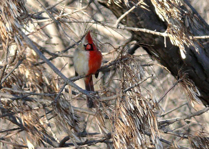 Con chim kỳ lạ này có bộ lông nửa trống nửa mái, và sự thực đằng sau sẽ khiến ai cũng sửng sốt - Ảnh 3.