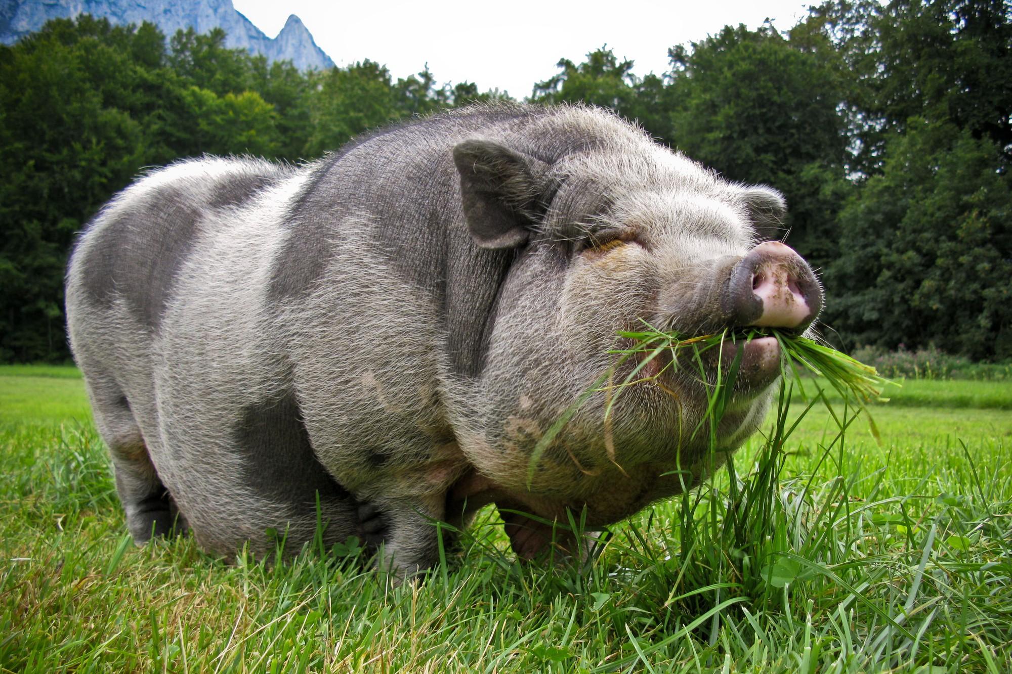Câu chuyện về War Pig và Pig War: từ những con lợn quật ngã cả voi, đến nguy cơ gây đại chiến giữa 2 cường quốc - Ảnh 1.