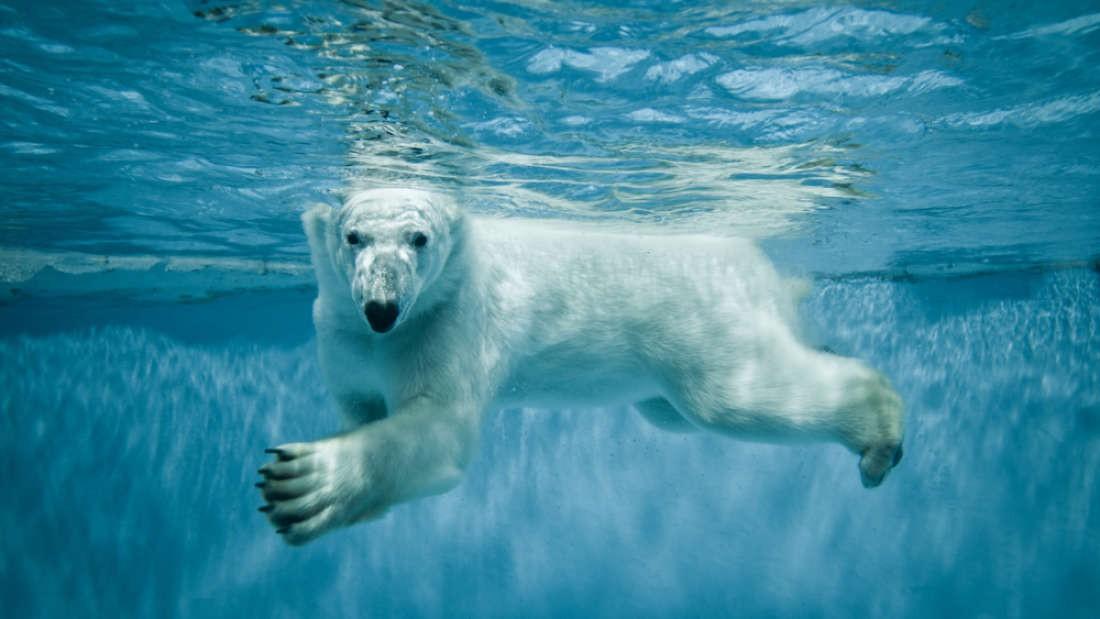 Gấu trắng Bắc Cực khắp Bắc Mỹ đang cho ra những cục phân... phát sáng và đây là lý do - Ảnh 3.