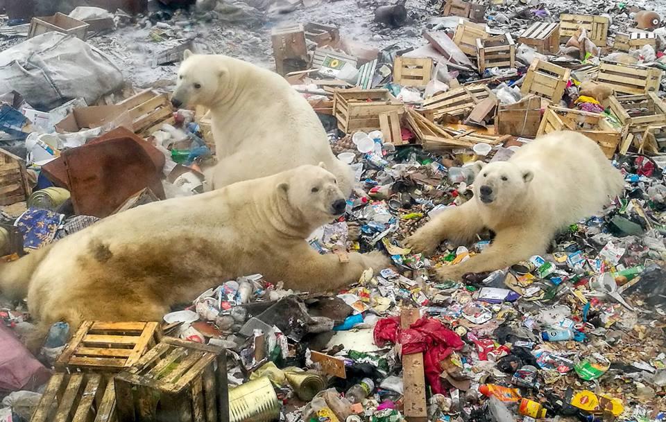 Đàn gấu Bắc cực tụ tập bới rác kiếm ăn - lời cảnh tỉnh đáng sợ tới con người về ô nhiễm môi trường - Ảnh 3.