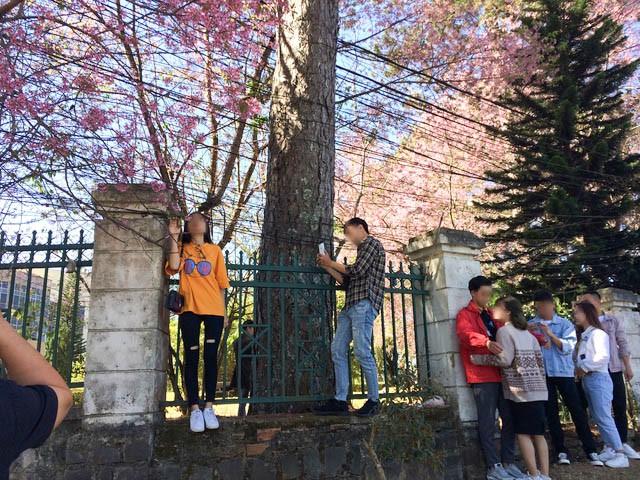Góc thở dài: Lên Đà Lạt check-in với mai anh đào, nhiều bạn trẻ tiện thể ngắt hoa, bẻ cành, đu hẳn lên tường để chụp ảnh - Ảnh 7.
