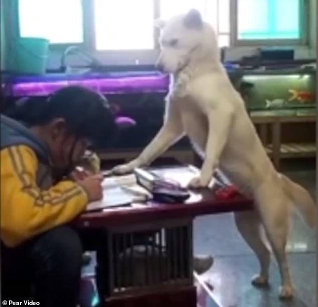 Con gái quá lười học, ông bố huấn luyện chú chó thành người canh chừng con học bài - Ảnh 2.