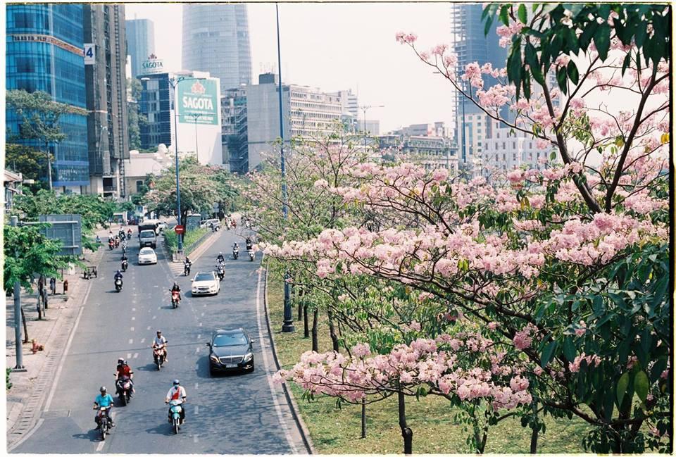 Dân tình ngỡ ngàng với loạt ảnh chụp hoa kèn hồng bung nở sớm tại Sài Gòn - Ảnh 1.