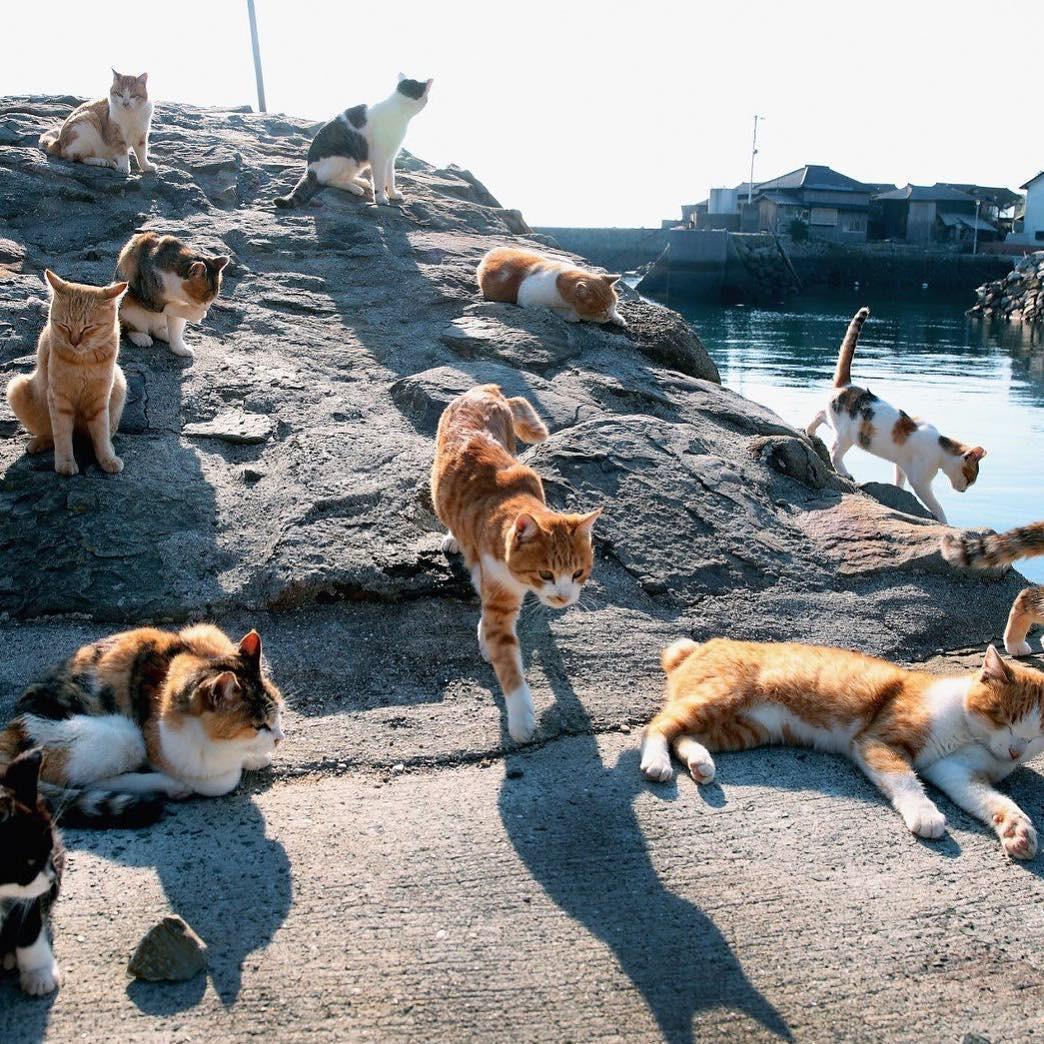 Đến thăm đảo mèo lớn nhất Nhật Bản, hội con sen đến đây thì đảm bảo sướng phát ngất! - Ảnh 1.