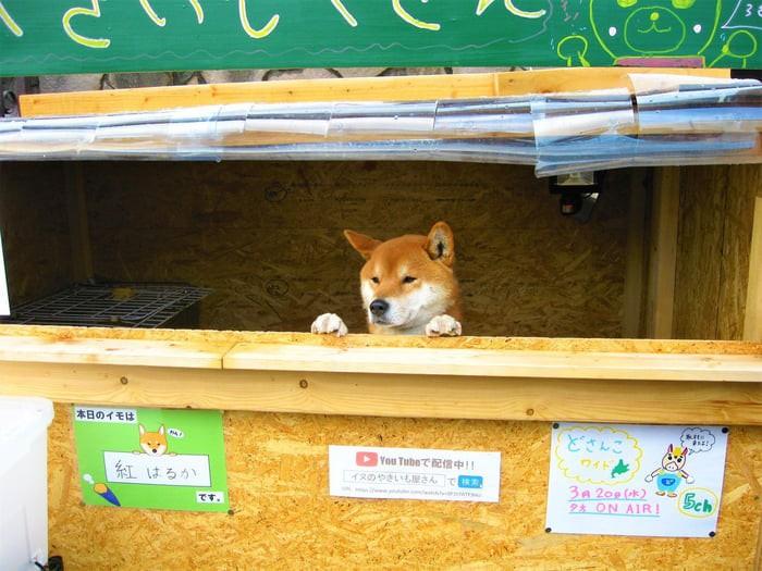 Chú chó shiba quản lý quầy khoai lang nướng ở Nhật khiến 5000 anh em mong mỏi được diện kiến một lần - Ảnh 6.