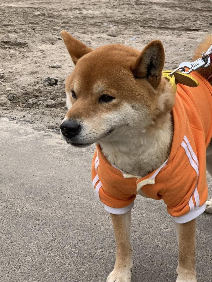 Chú chó shiba quản lý quầy khoai lang nướng ở Nhật khiến 5000 anh em mong mỏi được diện kiến một lần - Ảnh 7.