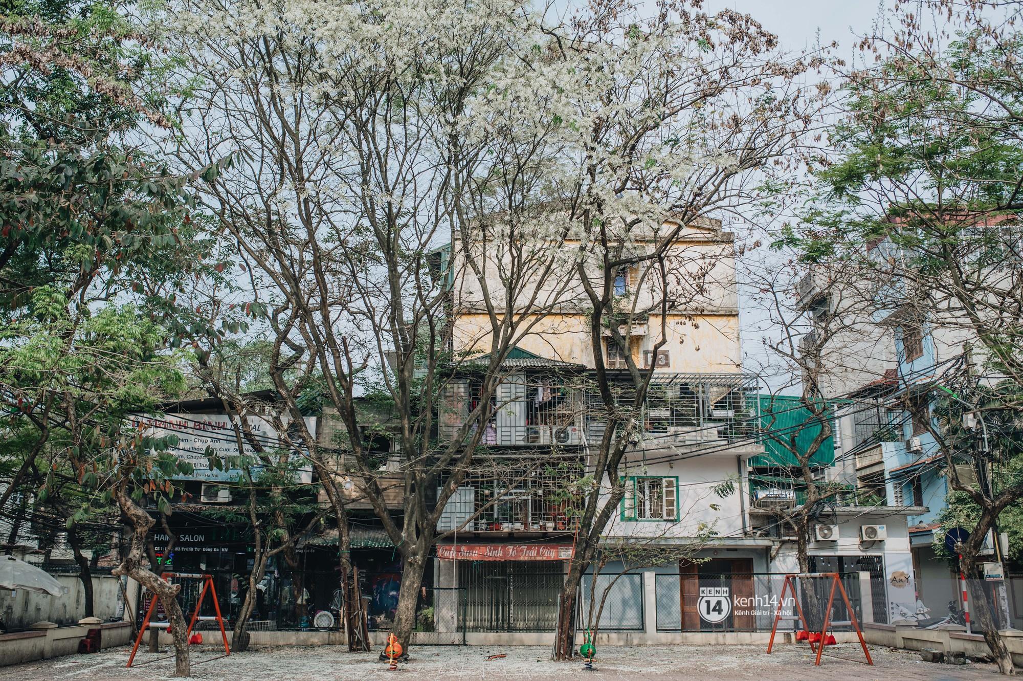 Đây là Hà Nội, của những ngày hoa sưa tinh khôi phủ trắng trời như tuyết - Ảnh 8.