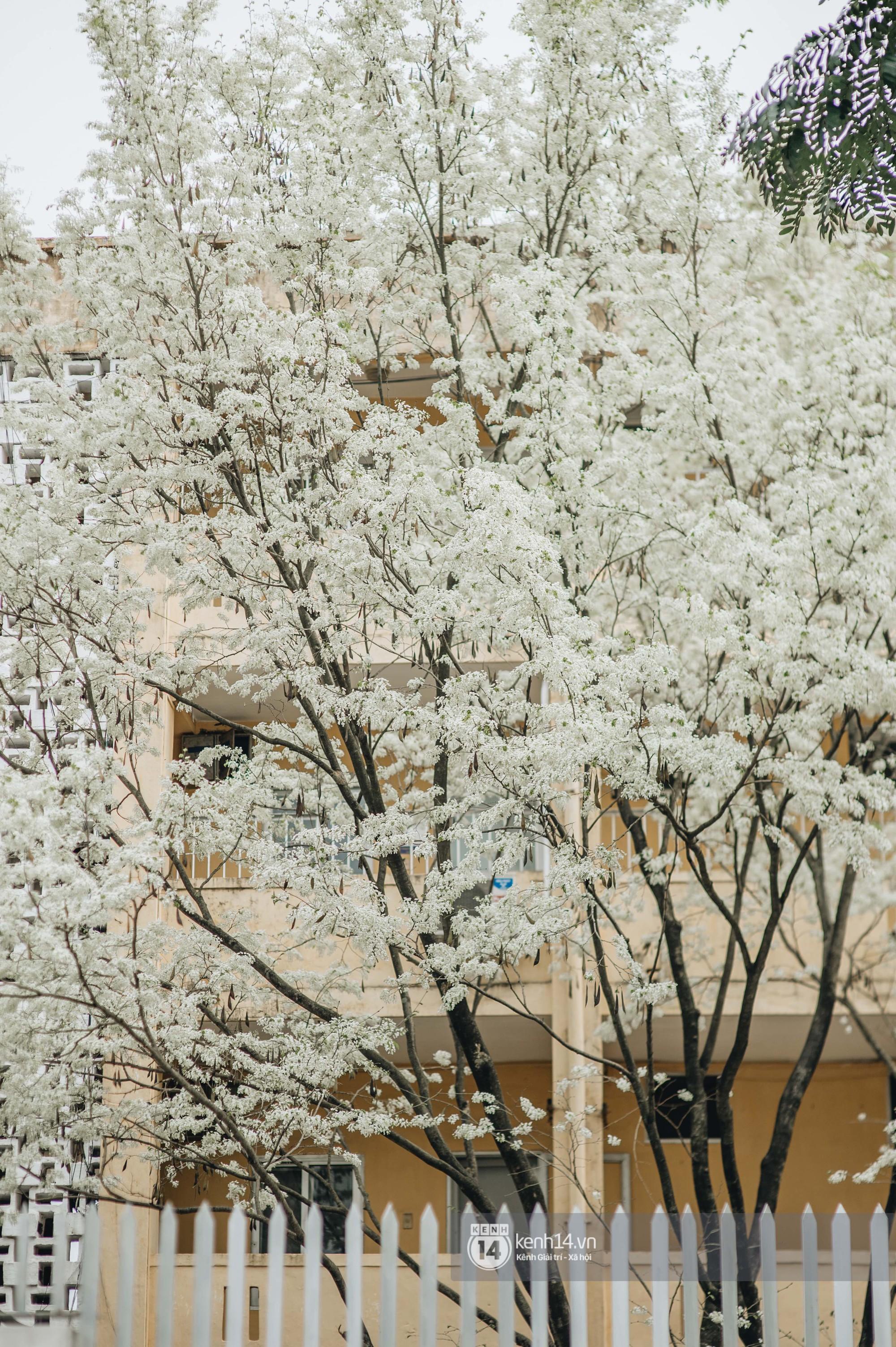 Đây là Hà Nội, của những ngày hoa sưa tinh khôi phủ trắng trời như tuyết - Ảnh 5.