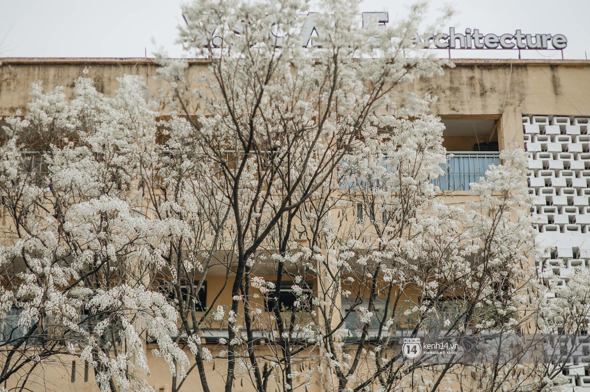 Đây là Hà Nội, của những ngày hoa sưa tinh khôi phủ trắng trời như tuyết - Ảnh 2.