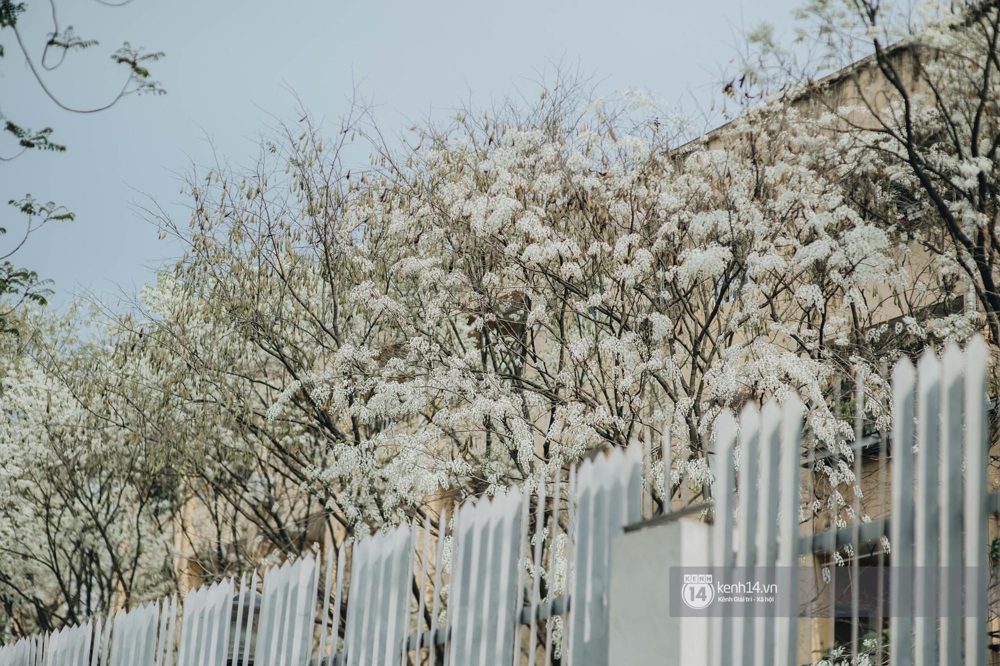 Đây là Hà Nội, của những ngày hoa sưa tinh khôi phủ trắng trời như tuyết - Ảnh 6.