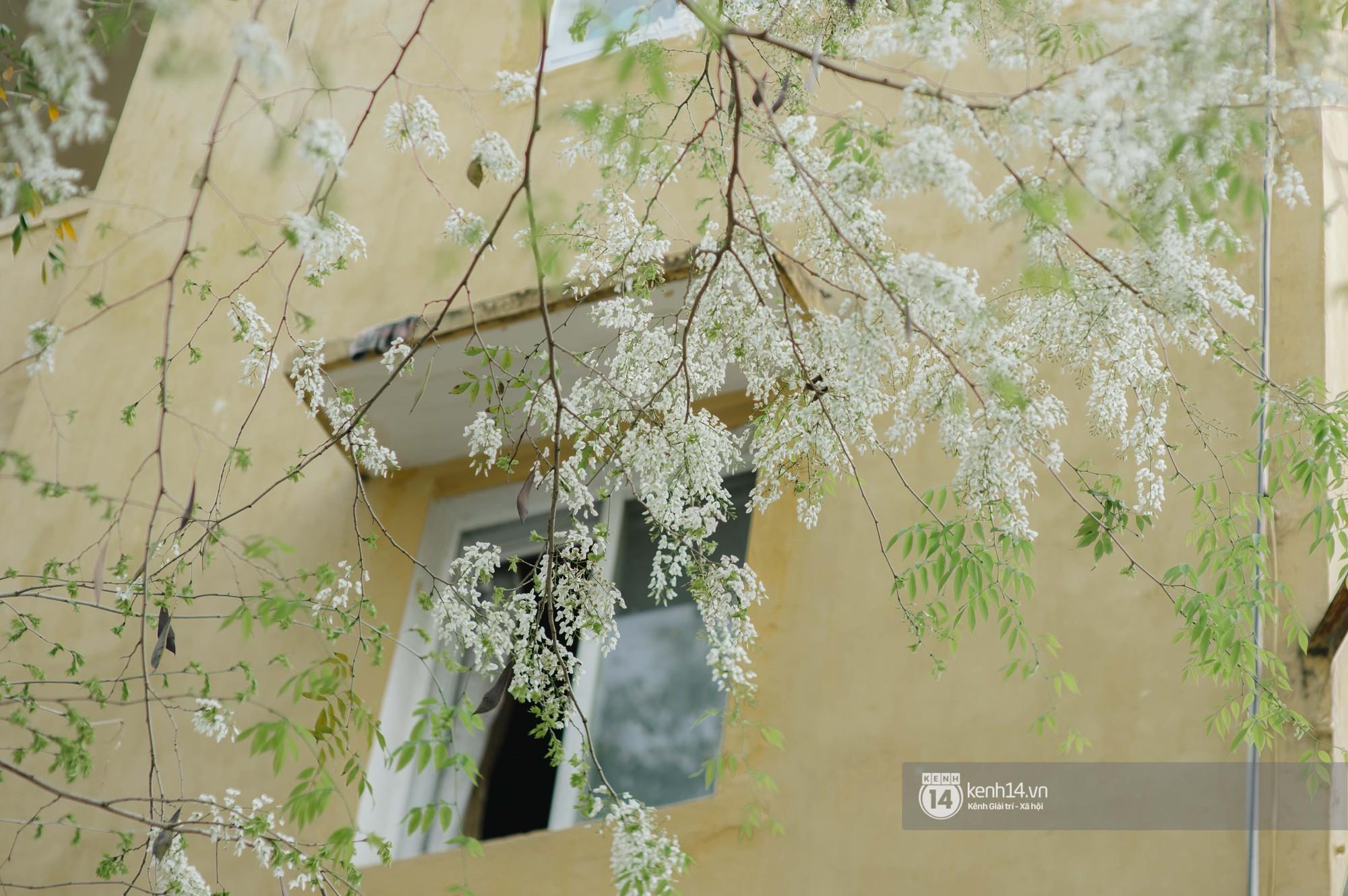 Đây là Hà Nội, của những ngày hoa sưa tinh khôi phủ trắng trời như tuyết - Ảnh 4.