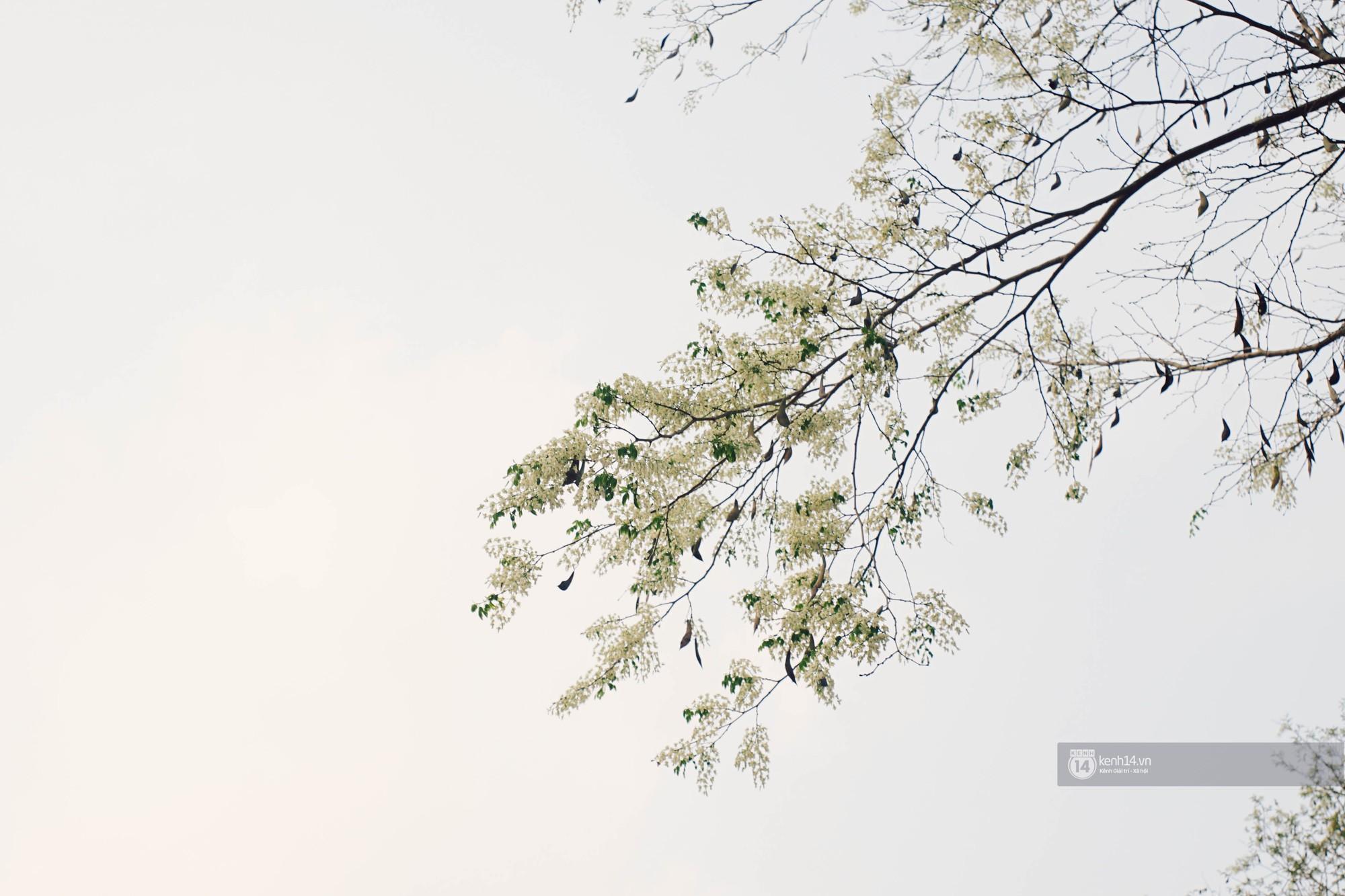 Đây là Hà Nội, của những ngày hoa sưa tinh khôi phủ trắng trời như tuyết - Ảnh 1.