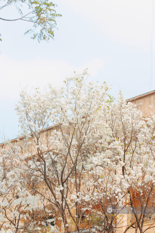 Đây là Hà Nội, của những ngày hoa sưa tinh khôi phủ trắng trời như tuyết - Ảnh 7.