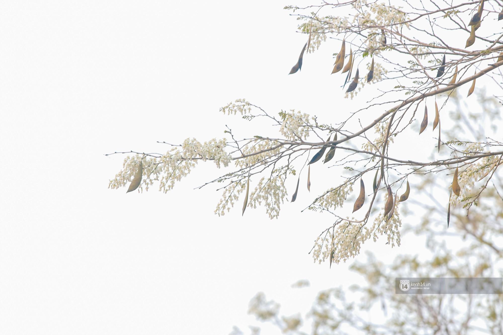 Đây là Hà Nội, của những ngày hoa sưa tinh khôi phủ trắng trời như tuyết - Ảnh 11.