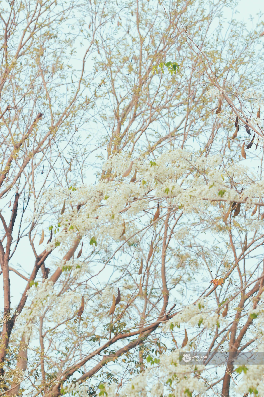 Đây là Hà Nội, của những ngày hoa sưa tinh khôi phủ trắng trời như tuyết - Ảnh 10.