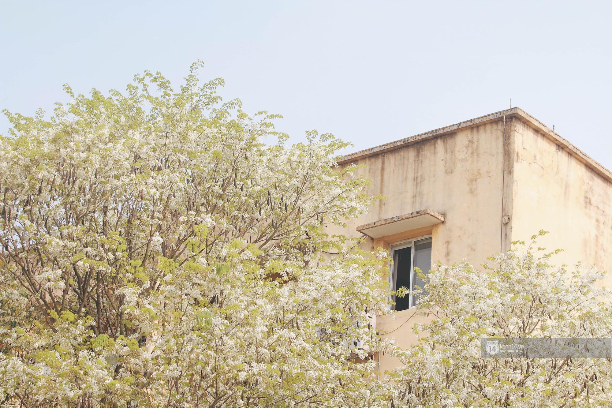 Đây là Hà Nội, của những ngày hoa sưa tinh khôi phủ trắng trời như tuyết - Ảnh 12.