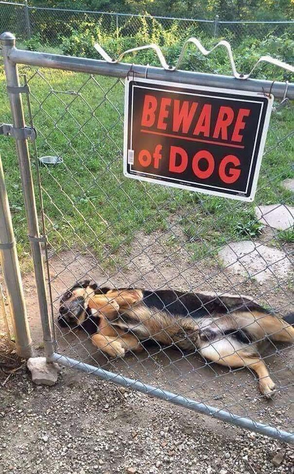 Chùm ảnh về những con boss ngáo ngơ phủi bỏ mọi ý nghĩa của tấm bảng coi chừng chó dữ - Ảnh 5.