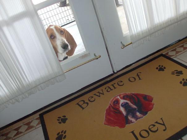 Chùm ảnh về những con boss ngáo ngơ phủi bỏ mọi ý nghĩa của tấm bảng coi chừng chó dữ - Ảnh 10.