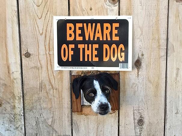 Chùm ảnh về những con boss ngáo ngơ phủi bỏ mọi ý nghĩa của tấm bảng coi chừng chó dữ - Ảnh 17.