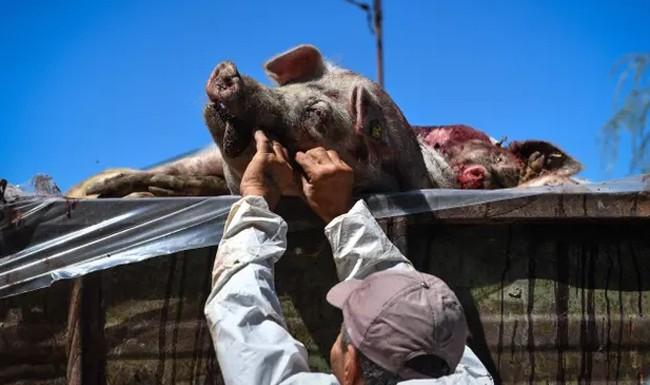 Giải pháp chống dịch tả lợn châu Phi trên thế giới - Ảnh 1.