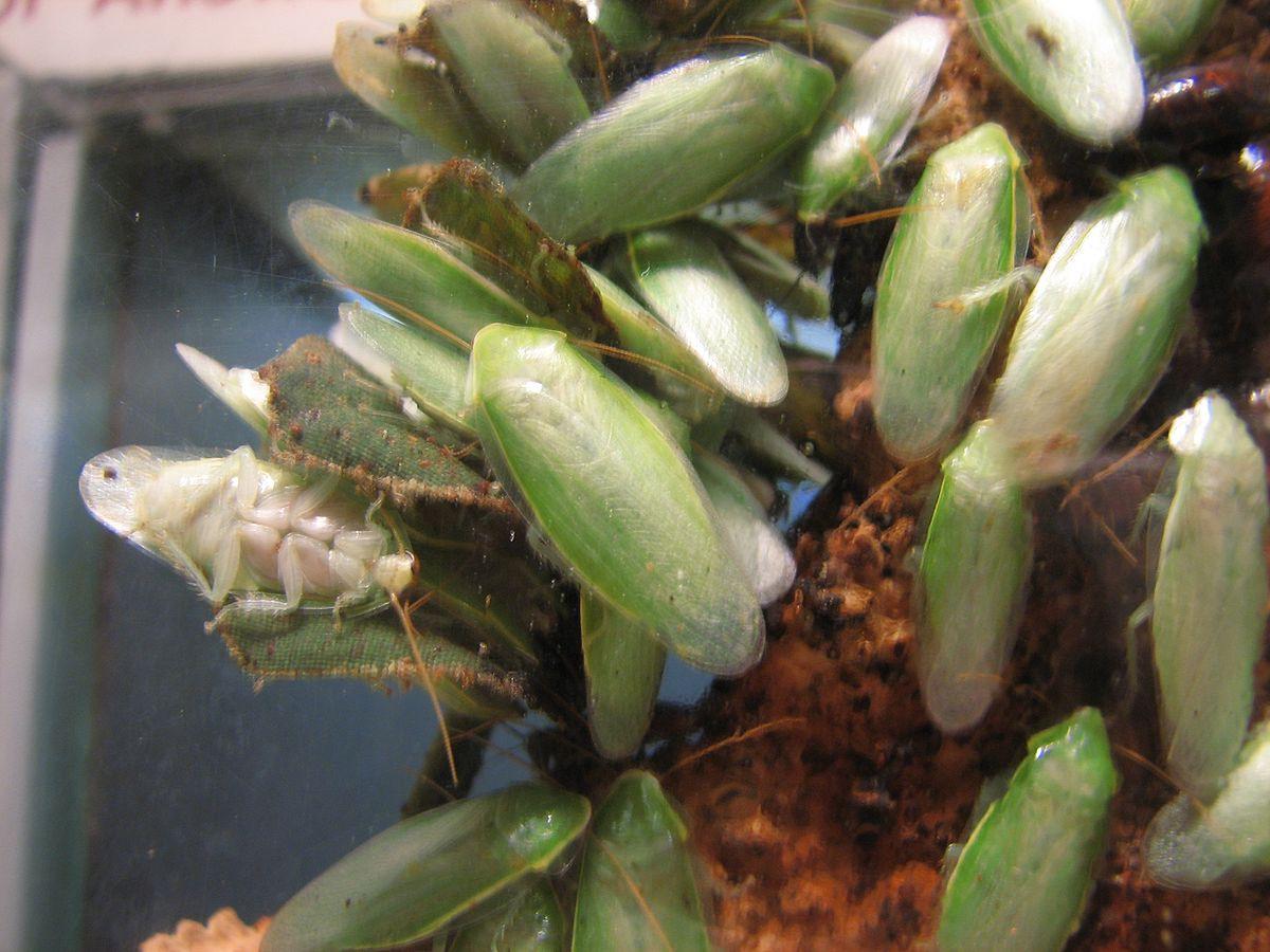 Gián thường ở trong đống rác, gián xanh Cuba lại sống đời lịch sự, ăn hoa quả trừ bữa - Ảnh 4.