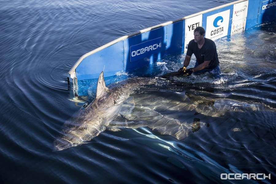 Thà một lần chơi lớn: Khoa học giờ dùng đến cả vệ tinh để giúp cá mập không bị tuyệt chủng - Ảnh 1.