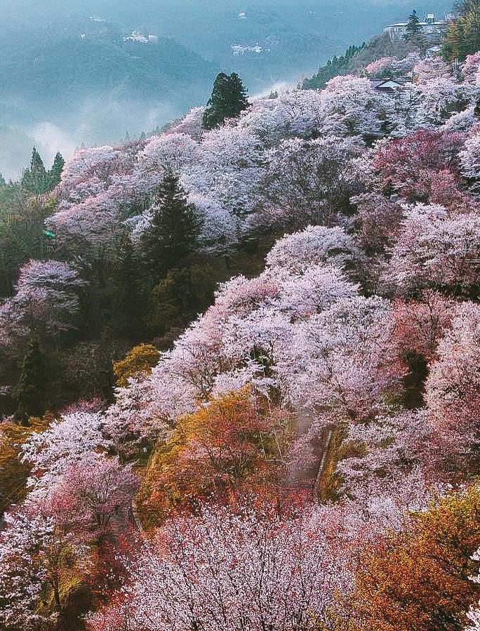 Quên Tokyo hay Kyoto đi, đây mới là nơi có nhiều hoa anh đào nhất Nhật Bản này! - Ảnh 2.