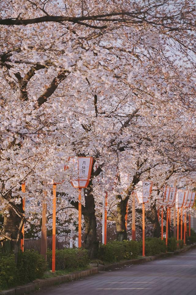 Quên Tokyo hay Kyoto đi, đây mới là nơi có nhiều hoa anh đào nhất Nhật Bản này! - Ảnh 4.