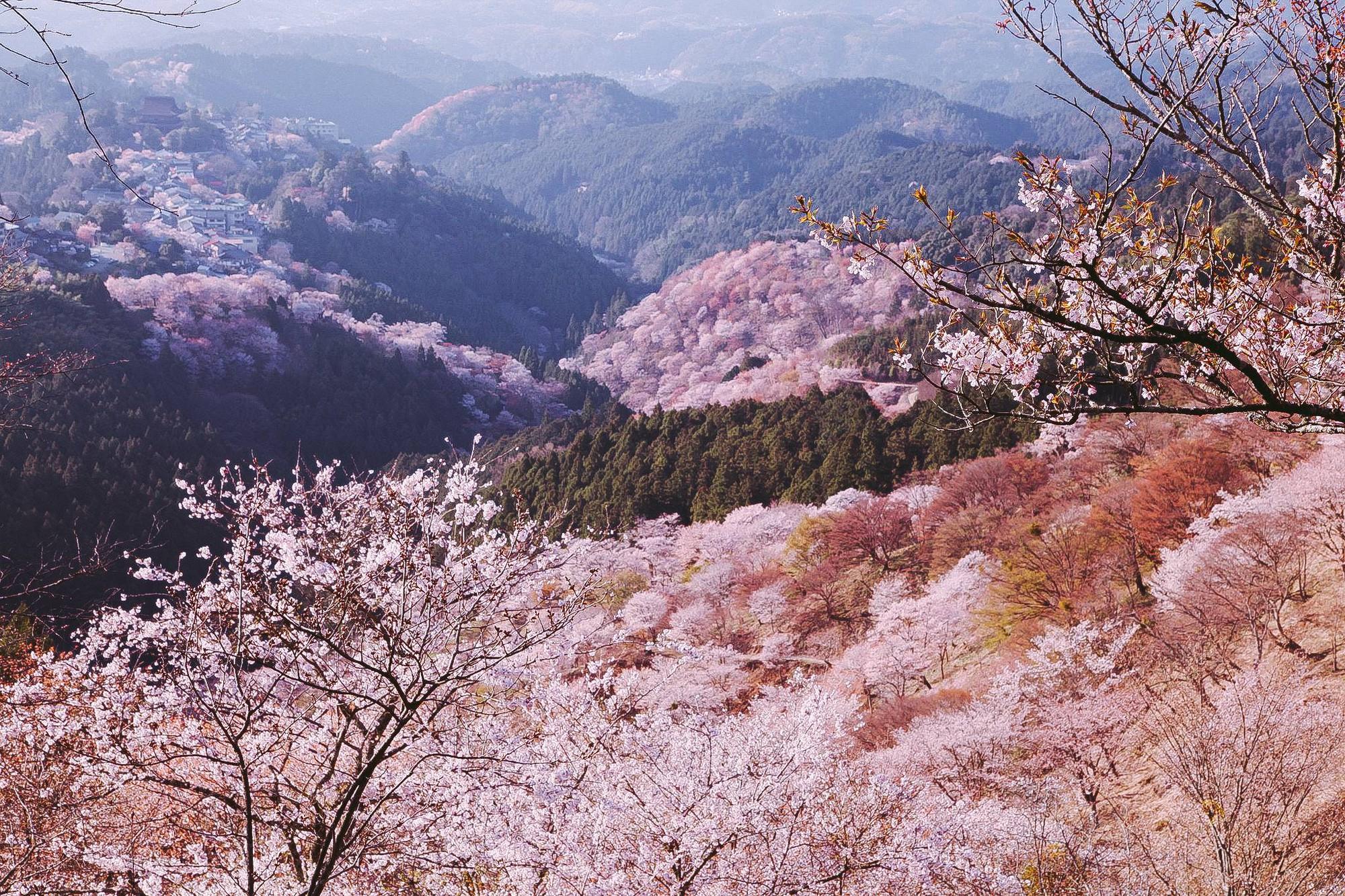 Quên Tokyo hay Kyoto đi, đây mới là nơi có nhiều hoa anh đào nhất Nhật Bản này! - Ảnh 10.