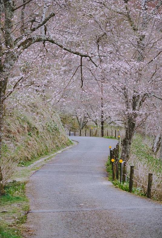 Quên Tokyo hay Kyoto đi, đây mới là nơi có nhiều hoa anh đào nhất Nhật Bản này! - Ảnh 8.