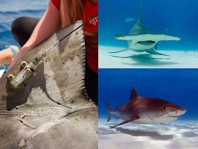 Thà một lần chơi lớn: Khoa học giờ dùng đến cả vệ tinh để giúp cá mập không bị tuyệt chủng - Ảnh 5.