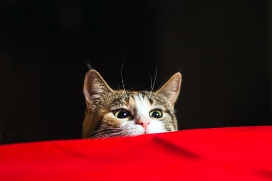 Khoa học xác nhận: Lũ mèo thực sự biết tên của chúng nó, chẳng qua là giả điếc thôi - Ảnh 3.