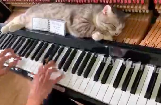 Chủ nhân clip mèo béo trên dương cầm đang lan truyền dữ dội khắp thế giới là người Việt! - Ảnh 2.
