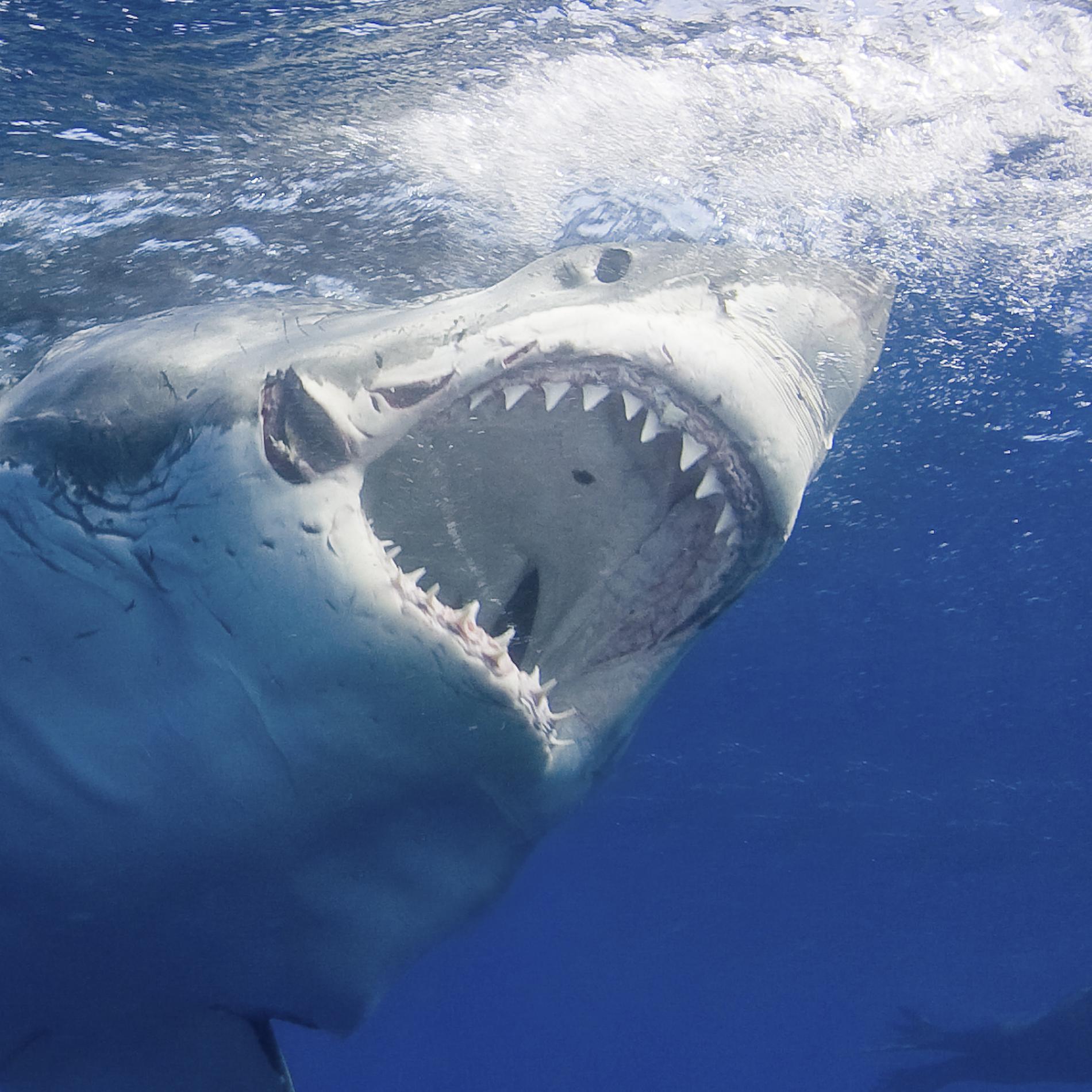Tưởng đứng đầu chuỗi thức ăn nhưng cá mập trắng phải sợ hãi đến mức bỏ chạy trước loài vật này - Ảnh 1.