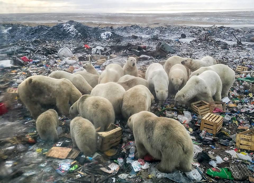 Gấu trắng Bắc Cực đi lạc 700km kiếm thức ăn - hình ảnh thương tâm của tình trạng biến đổi khí hậu - Ảnh 2.