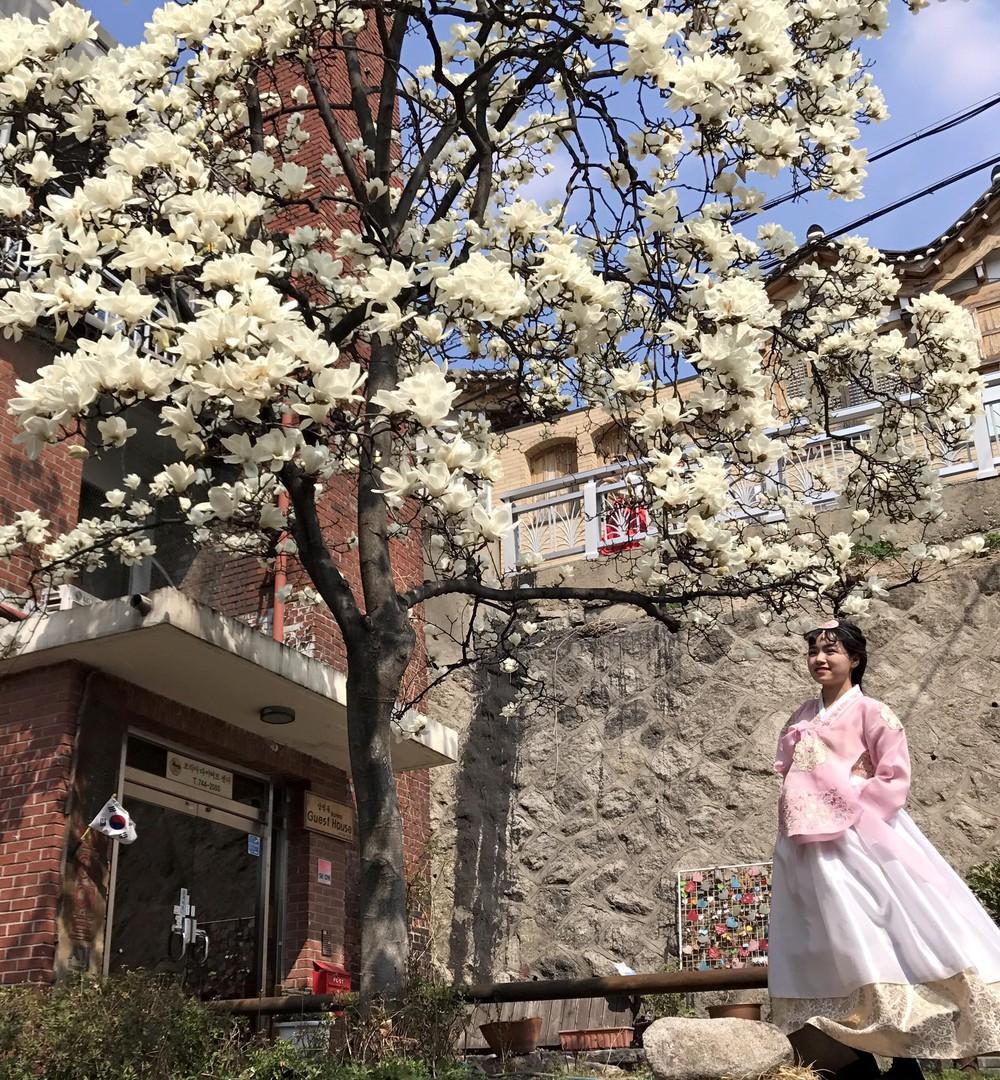 Không phải hoa anh đào, mộc lan mới chính là loài hoa đang vào độ bung nở đẹp nhất tại Seoul - Ảnh 7.