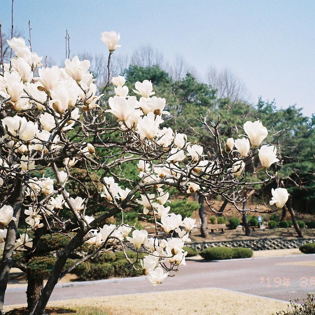 Không phải hoa anh đào, mộc lan mới chính là loài hoa đang vào độ bung nở đẹp nhất tại Seoul - Ảnh 1.
