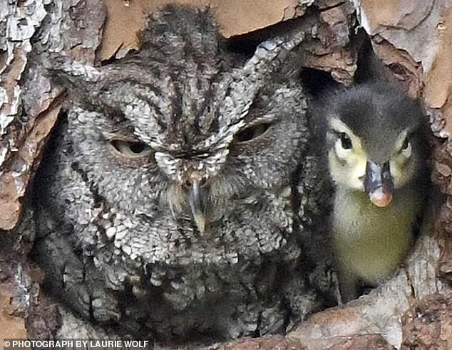 Đáng yêu vô đối: Khuôn mặt bẽ bàng của mẹ cú khi phát hiện quả trứng mình ấp bấy lâu lại nở ra một... con vịt - Ảnh 2.