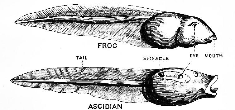 Pha dậy thì thất bại của loài hải tiêu: Lúc nhỏ xinh lắm ai ơi, lớn lên xấu xí tự xơi não mình - Ảnh 3.