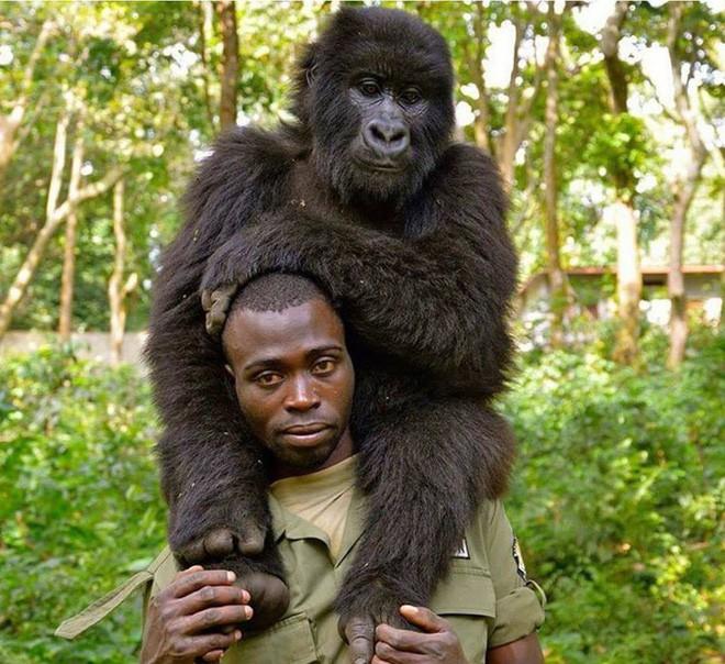 Ham chụp tự sướng với các chú kiểm lâm, 2 con khỉ đột bỗng chốc nổi như cồn khắp thế giới - Ảnh 4.