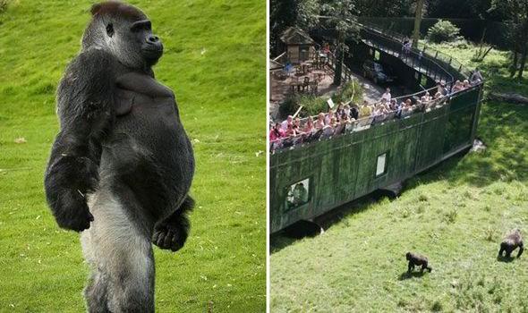 Câu chuyện đằng sau bức ảnh khỉ đột đứng selfie như người: Tại sao chúng đứng thẳng lưng được? - Ảnh 2.