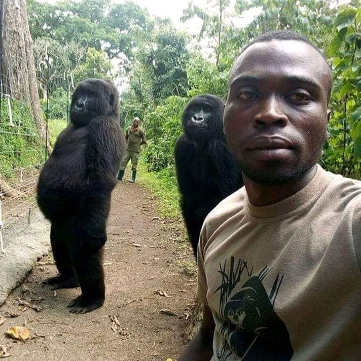 Câu chuyện đằng sau bức ảnh khỉ đột đứng selfie như người: Tại sao chúng đứng thẳng lưng được? - Ảnh 1.