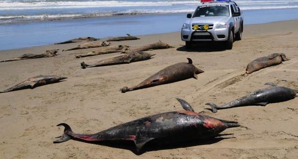 Cá heo chết hàng loạt hàng nghìn con trong 3 tháng tại Peru: Vì sao lại có  thảm họa này?