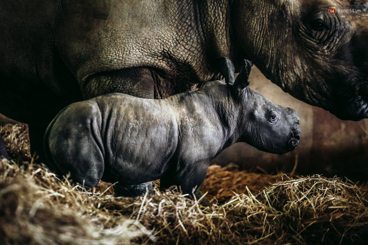 The closure of two rare white rhinos were born in Vietnam for the past decade - Photo 1.