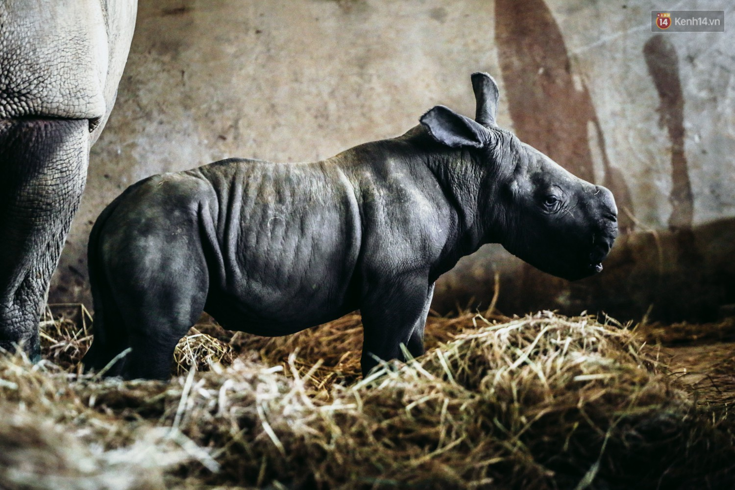 The closure of two rare white rhinos has just been born in Vietnam for the past decade - Photo 9.